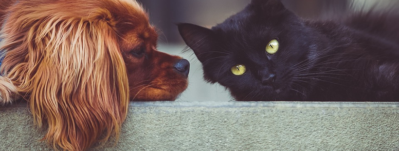 Image of a small red dog and a large black cat lying face-to-face.